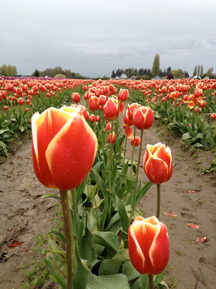Tulip festival, April, Skagit, WA. Okay, this is not in Vancouver but too pretty to exclude it. Don't you think?